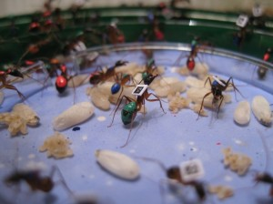 Computer-trackede myrer. Billede taget af Alessandro Crespi.