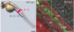 Ved at fluorescens-markerer bestemte celle-typer i gennemsigtige zebrafisk, kan man se hvordan cellerne argerer live.