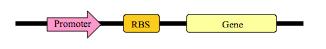 Tre forskellige gen-dele, der sammen danner en enhed. En promoter (der opregulerer antallet af RNA polymeraser, der sætter sig her), et ribosome binding site (RBS) (så vores gen bliver udtrykt) og selve genet.