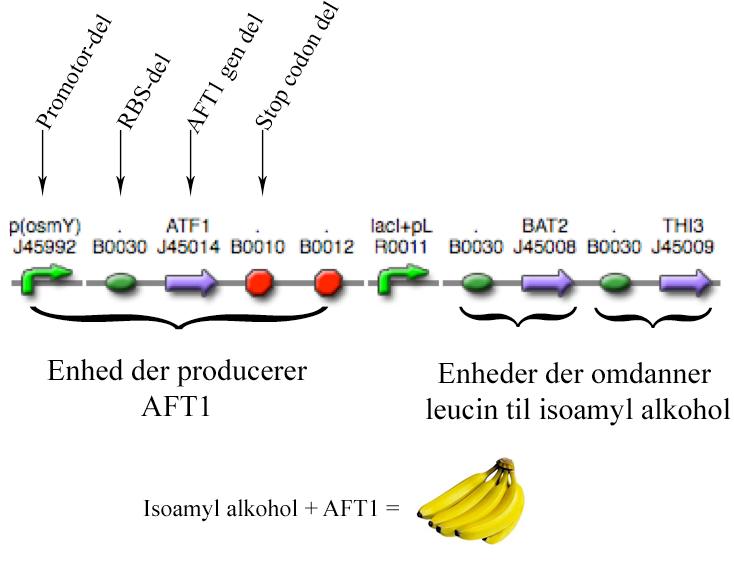 En række funktionelle dele sættes sammen og danner enheder, der igen sættes sammen og danner et banan-lugte system. De enkelte dele, enheder og hele systemet er efterfølgende blevet beskrevet og lagt ud på et register på nettet, som alle kan se. De enkelte dele kaldes &#8220parts&#8220 eller BioBricks. Man kan se navnene på hver enkelt del, og i registeret på nettet kan man så slå nukleotid-sekvensen og anden information om delen op.