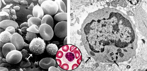 Et billede af T-celler sammen med blodets andre komponenter.