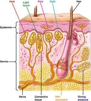 Forskellige nerve-ender i huden - de har kun én funktion hver, og kommunikerer kun det ene stimuli videre ind til rygmarven.