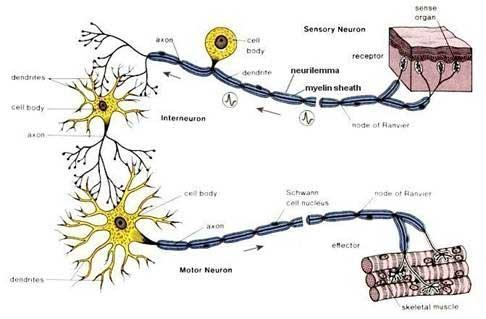 Nerve-ender i huden sender signal ind til rygmarven, hvor der i første omgang træffes en beslutning om hvordan kroppen skal reagerer, og sender derefter besked ud til forskellige muskler for at fortælle dem hvordan de skal opføre sig.