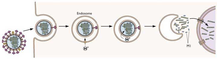 Influenza trænger ind gennem celler i vores luftveje og overtager styringen af dem. Kun på denne måde kan vira reproducerer sig selv.