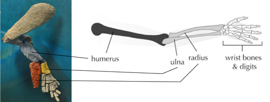 370 millioner års udvikling har ikke forandret meget ved vores arm sammenlignet med Tiktaalik's.